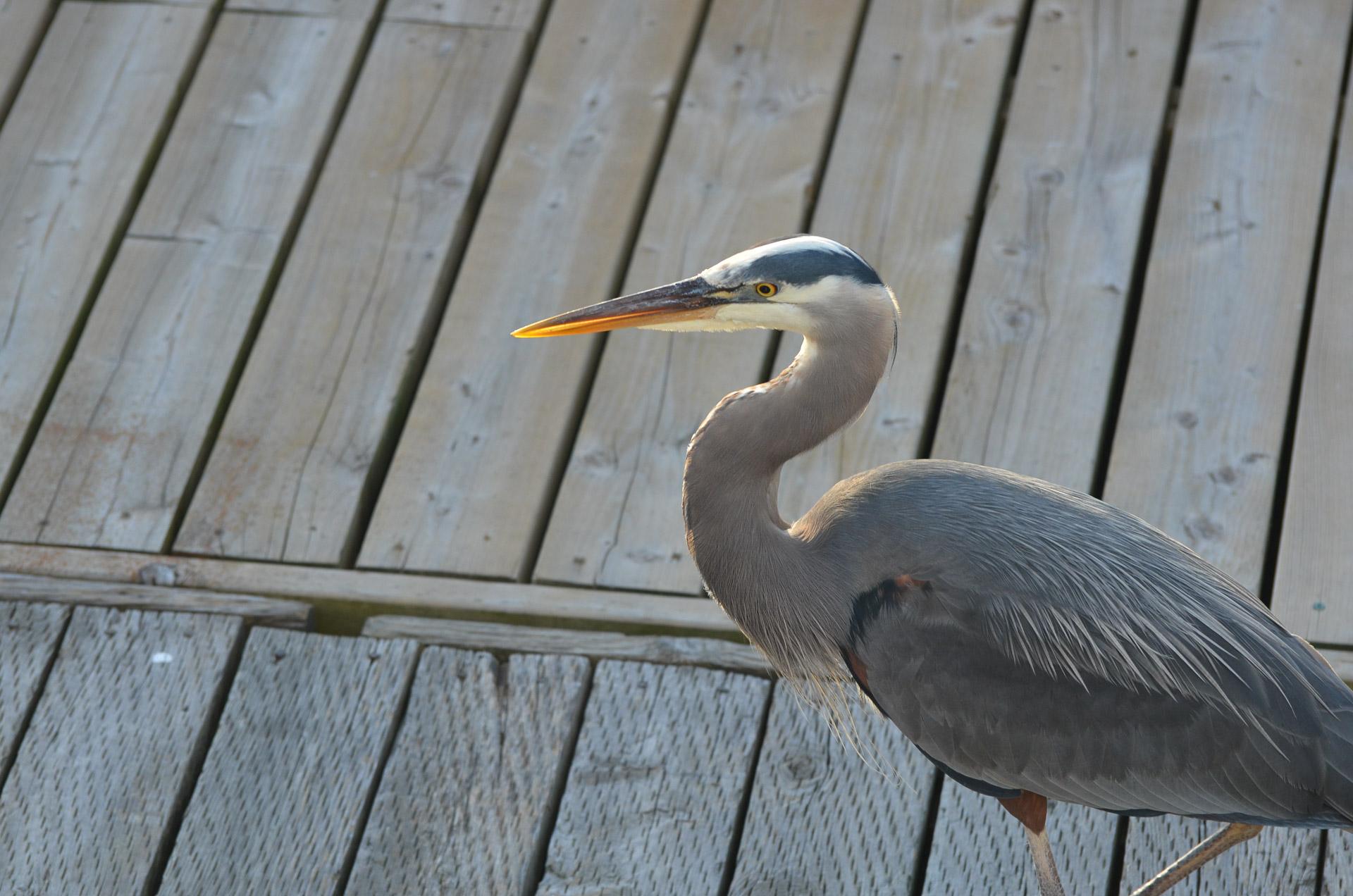Blue Heron on Deck