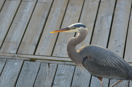 Blue Heron on Deck