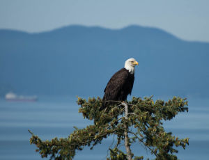 Bald Eagle overlooking the Sound
